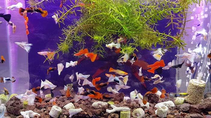 Nên nuôi những loại cá cảnh nào
